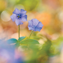 tableau-déco-fleurs-pervenches