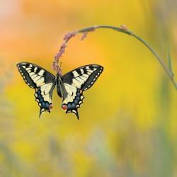 tableau-déco-papillon-machaon-dos