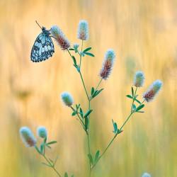 tableau-déco-papillon-demi-deuil